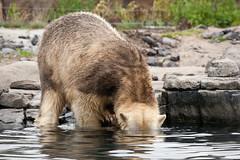 2011-06-26-10h00m42.272P7803 (A.J. Haverkamp) Tags: zoo rotterdam blijdorp polarbear ijsbeer dierentuin diergaardeblijdorp olinka httpwwwdiergaardeblijdorpnl canonef100400mmf4556lisusmlens