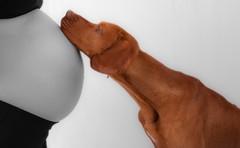 Why the bump? (bulti48) Tags: dog pet baby pointer mother vizsla pregnant bump hungarianvizsla colourpopping