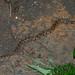 Nerodia sipedon ssp. pleuralis