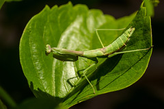 Praying Mantis (Angela Freeman) Tags: insect bugs beasties prayingmantis green leaf pentaxk5 tamron tamron90mm