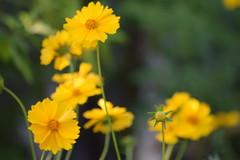 DSC_0467 (Kelson Souza) Tags: flor primavera flower flowers natureza beleza jardim jardinagem garden gardens colorido floricultura petalas ptalas florescer flores margarida margaridas