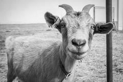 Meet Pipi / Seznamte se s Pipinou (katka.havlikova) Tags: goat animal farm farmhouse countryside czech black white koza zve zvata animals esk republika vesnice village venkov nature proda statek republic blackandwhite
