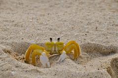 EL cangrejo (Julietixa) Tags: beach animal island mar sand crab playa arena ojos verano isla cangrejo pinzas nikond5000
