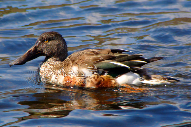 Petes northern shoveler