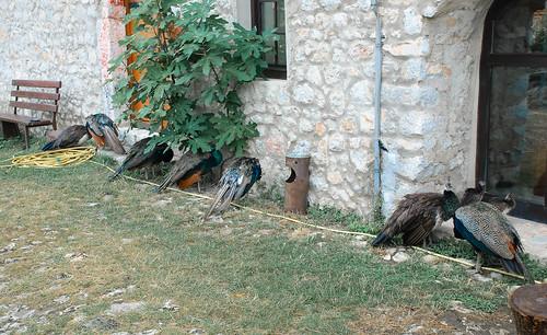 Peacocks in Monastery of Saint Naum, Macedonia