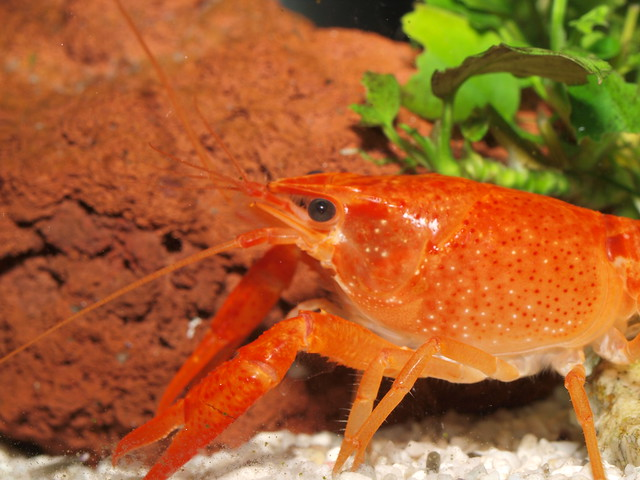 P3235018 橘螯蝦