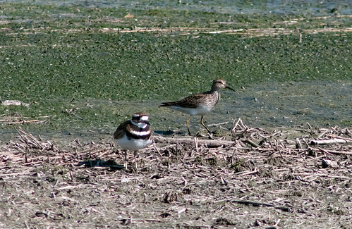 Pectoral Sandpiper and Killdeer