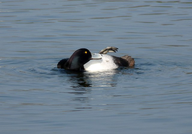 24058 - Tufted Duck, Sandy Water Park, Llanelli