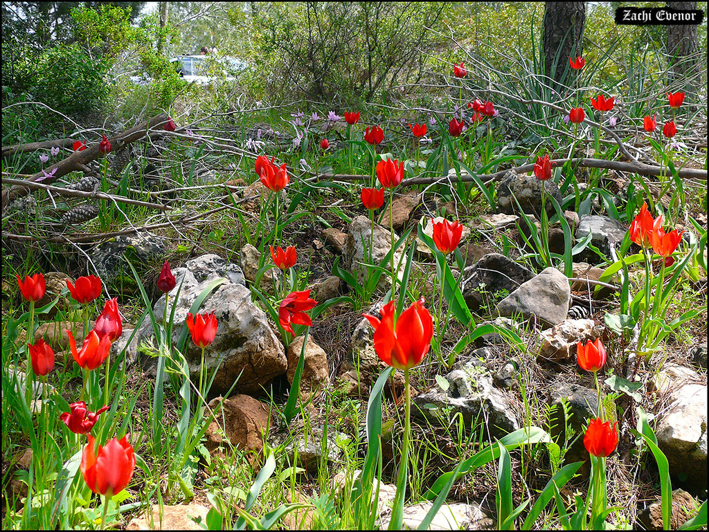 The Worlds Best Photos Of Jerusalem And Tulip Flickr Hive Mind