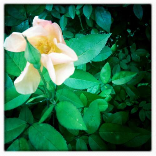 mutablis rose
