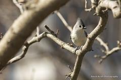 (Kevin Kraft) Tags: morning bird photography nikon kevin 300mm titmouse nikkor f4 kraft