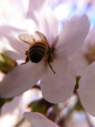 蜂と桜 ksw-2マクロレンズで接写