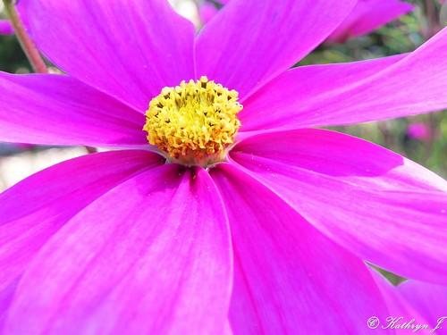 Pink by Kathryn_J