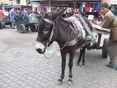 I AM NOT MOVING....OK? (*SIN CITY*) Tags: africa road trip travel people urban horse food mountain holiday building festival cat temple monkey benz fuji ride market african taxi transport donkey stall tourist palm morocco cannon motorcycle marrakech medina trike casablanca cart morrocco moroc