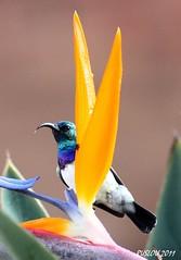 White-bellied Sunbird (Cinnyris talatala) (ruslou (More off than on)) Tags: nature southafrica explore pretoria strelitzia whitebelliedsunbird nectariniatalatala whitebreastedsunbird cinnyristalatala ruslou witpenssuikerbekkie