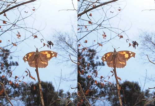 Libythea celtis, stereo parallel view