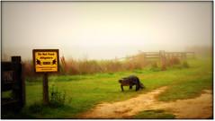 Morning Stroll Along The La Chua Trail, Paynes Prairie (gatorgalpics) Tags: florida gator gainesville fl lachuatrail americanalligator gainesvillefl outforastroll readthesign paynesprairiepreservestatepark