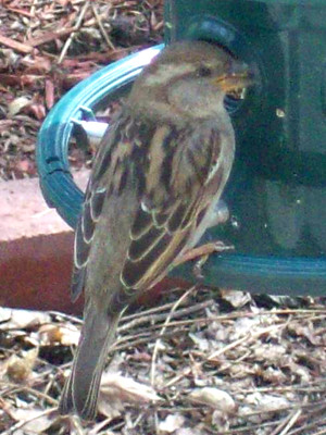 20110409_sparrow_photo