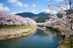 Riverside Cherry-Tree01 (-TommyTsutsui- [nextBlessing]) Tags: pink nature japan river cherry landscape spring nikon blossom  izu    matsuzaki sigma1020  onsalegettyimages