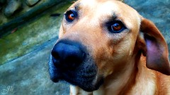 My beloved dog named Tigger *-* ( Joh ) Tags: dog co cachorro animais tigro doguealemo