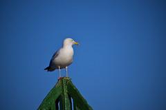 Seagull (Future-Echoes) Tags: blue sky bird animal standing coast rest essex walton seagul waltononthenaze