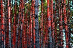 red forrest (Jmilo2011) Tags: red abstract green nikon forrest russia pines 1855 greed alian d3100