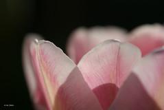 Sun shining through (times_like_these) Tags: pink light shadow sun sunlight flower detail macro nature closeup petals dof belgium tulip sinttruiden raynox250 sooc sony1870mm sonyalpha300 smetsine