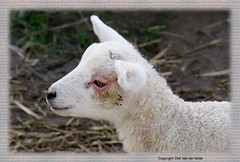 Mommy ! where are you ? (DirkVandeVelde Back) Tags: lamb lam