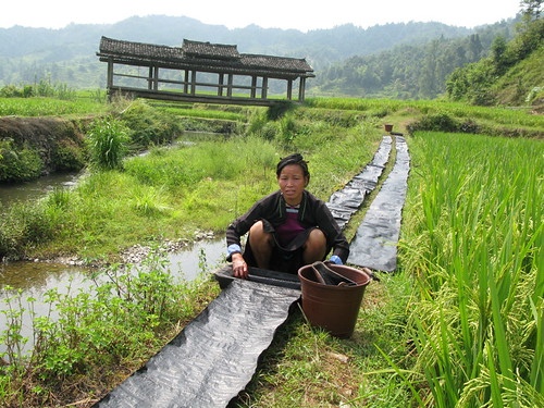 Dyeing Indigo Cloth in a Rice Paddy, Xindi