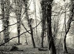 Frhlingsbeginn im Hesperbachtal #3 (Willi Morali) Tags: trees ilford fp4 heimat frhling landcape swa abendlicht alpa natureslight finol autaut eco4812 moerschphotochemie mt3varioschwefeltoner rollfilm6x8 adoxmcc110 hesperbach