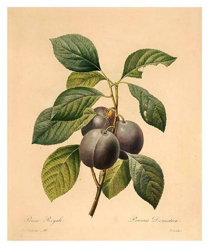 010-Ciruela real-Choix des plus belles fleurs…1827- P.J.Redoute