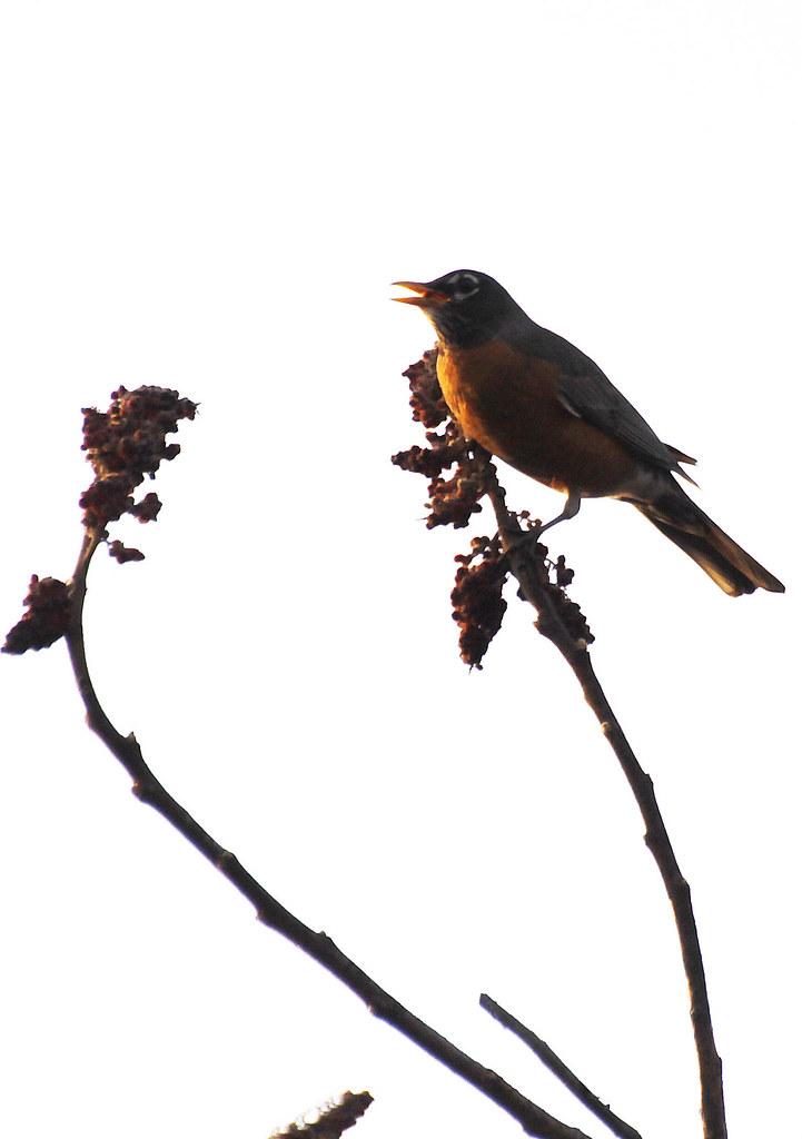 sunny robin