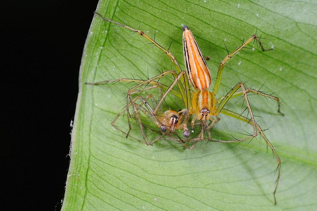 細紋貓蛛(雌)  Oxyopes macilentus