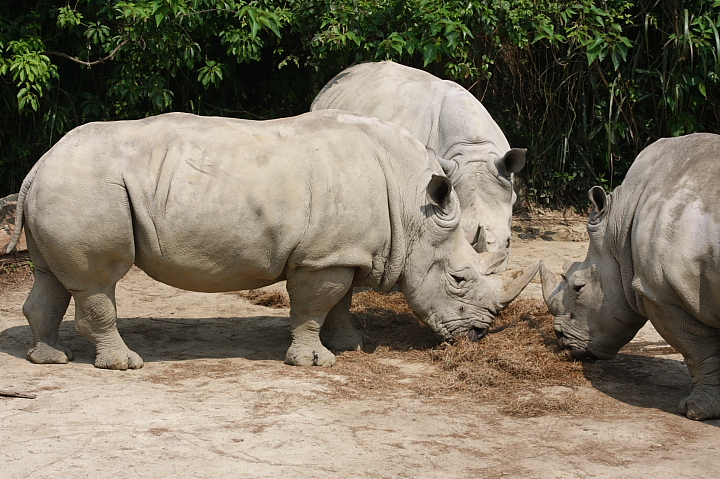 木柵動物園(白犀牛)011