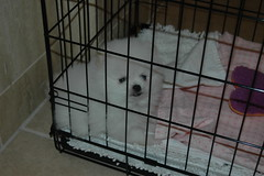 baby Sir Tuckid - white pomeranian (six7777) Tags: bear white face puppy teddy 8 weeks pomeranian eight akc