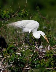 Egret Nest with Chick (Let there be light (Andy)) Tags: birds texas nest chicks egret nesting audubon highisland texasbirds uppertexascoast smithoaks slbbrooding slbnesting