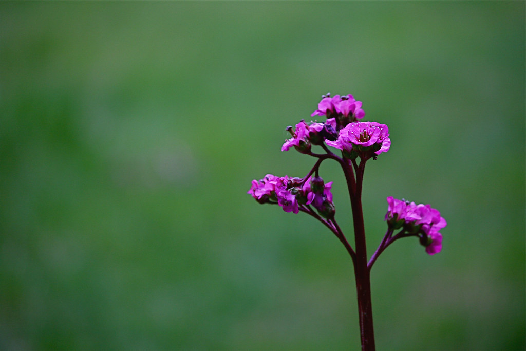 the world's best photos of bergenia and rose - flickr hive mind