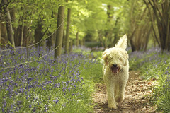 Lola in the bluebells (joy7d) Tags: wood dog bluebells spring lola labradoodle bentleywood colorphotoaward mygearandme
