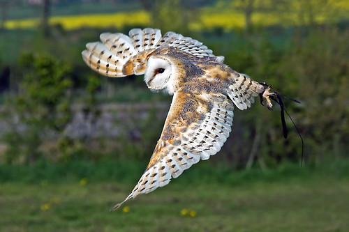 Barn Owl in Flight by sypix