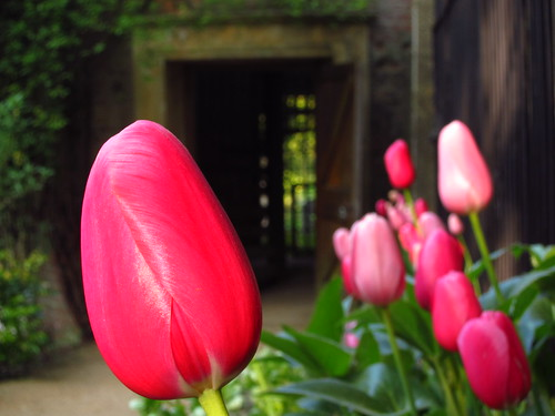 Tulips at the Pergola