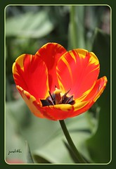 Good Day Sunshine (judecat (relaxing by the sea)) Tags: flower nature tulip redandyellowtulip