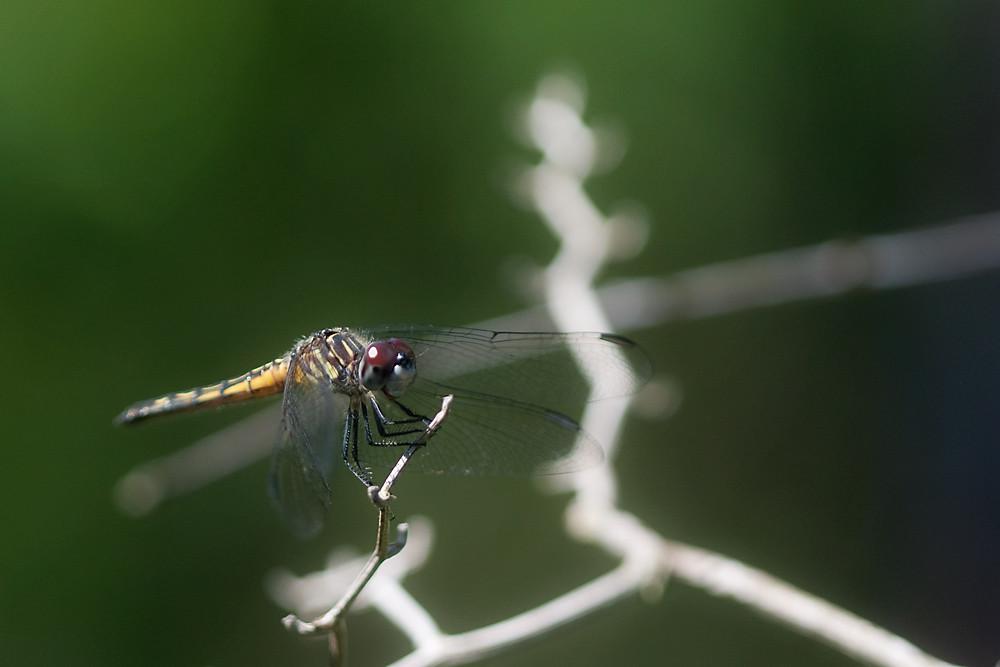 Macro 18/30:  Dragonfly