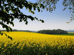rape-sody in yellow - ( explored ) (mujepa) Tags: wood france yellow jaune landscape spring champs rape fields paysage lorraine printemps fort rhapsody colza greatshots topshots cuvry photosandcalendar worldwidelandscapes natureselegantshots panoramafotografico theoriginalgoldseal mygearandme flickrportal