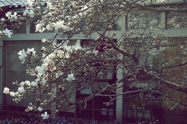 magnolia5