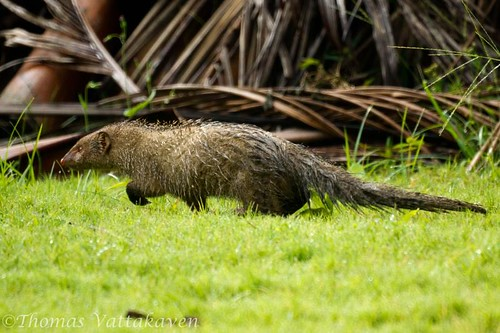 Indian Gray Mongoose