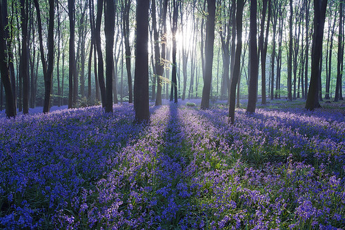 Micheldever Bluebell Sunrise by antonyspencer