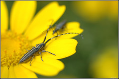 Longhorn beetle - יקרונית החריע (Eran Finkle) Tags: flower macro closeup garland wildflowers פרח פרחים cerambycidae longhornedbeetles חרצית מאקרו chrysanthemumcoronarium longhornbeetles תקריב crowndaisy קלוזאפ garlandchrysanthemum agapanthiadahli glebioniscoronaria פרחיבר longicorns יקרונית יקרוניתיים חרציתעטורה יקרוניתהחריע leucanthemumcoronarium