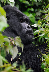 Guhondo, Mountain Gorilla 1/3