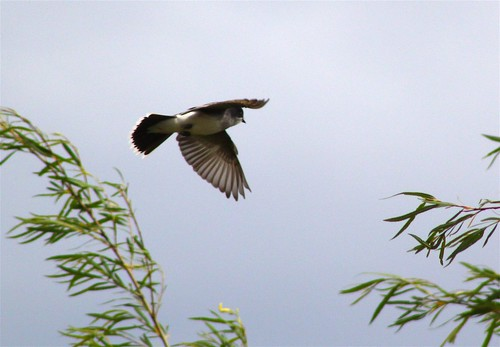 Eastern Kingbird in flight
