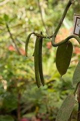 Bali 2011 (Image Gratification) Tags: bali orchid volcano bean vanilla batur balinese